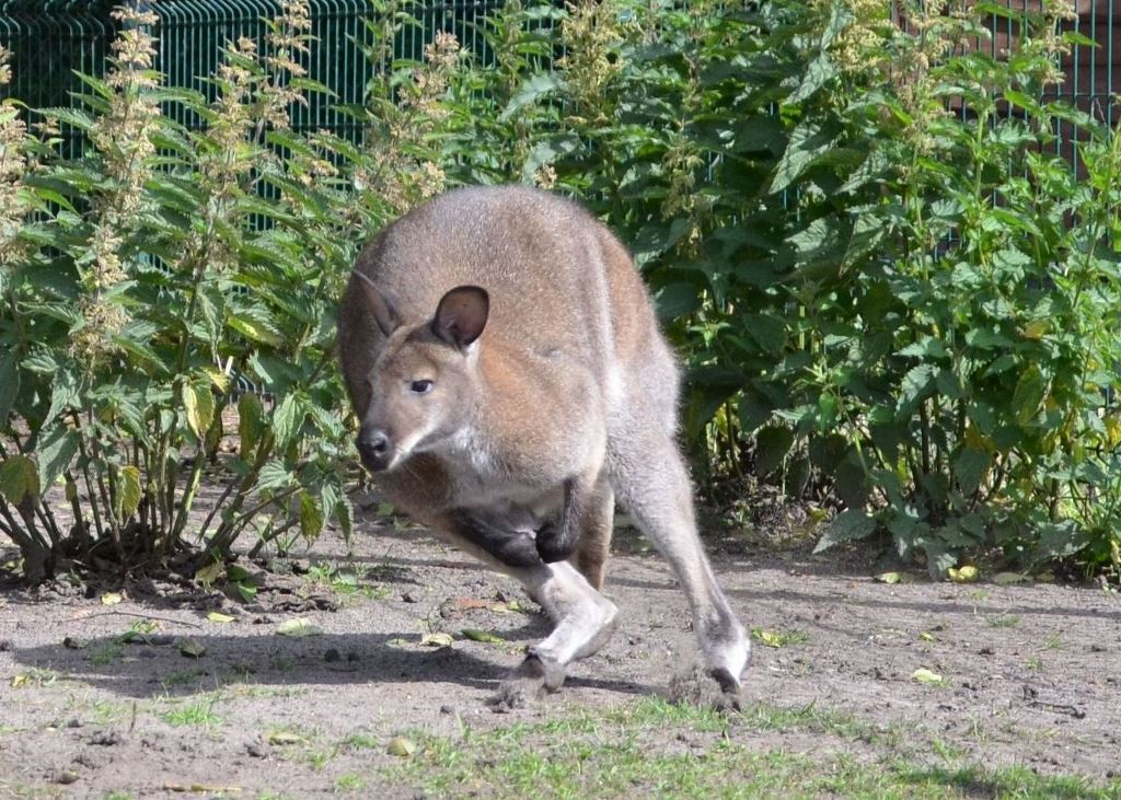 17 Kangur rdzawoszyi Mini ZOO w Jantarze (1) sml
