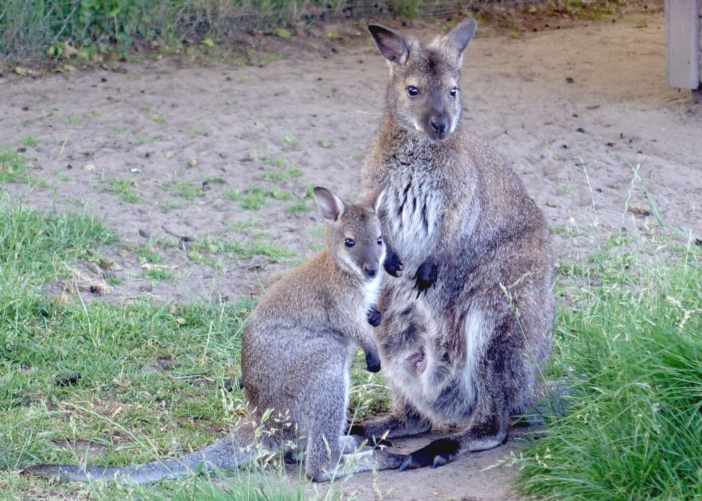 20 Kangur rdzawoszyi Mini ZOO w Jantarze sml